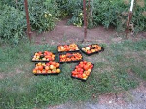 Tomatoes2012